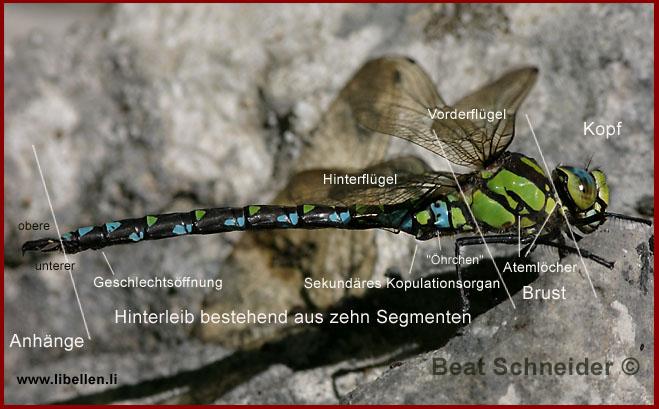 Körperbau der Libelle
